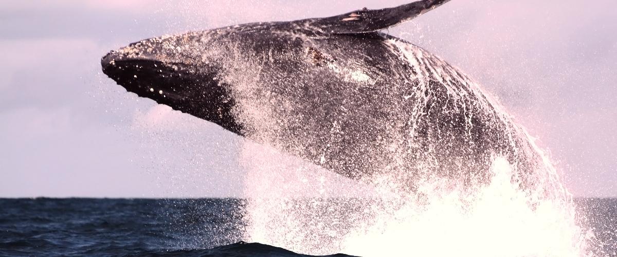 Baleine à bosses, Maningory Hôtel-Restaurant, Île Aux-Nattes, Sainte-Marie, Madagascar